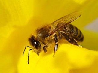 L'abeille à travers l'histoire