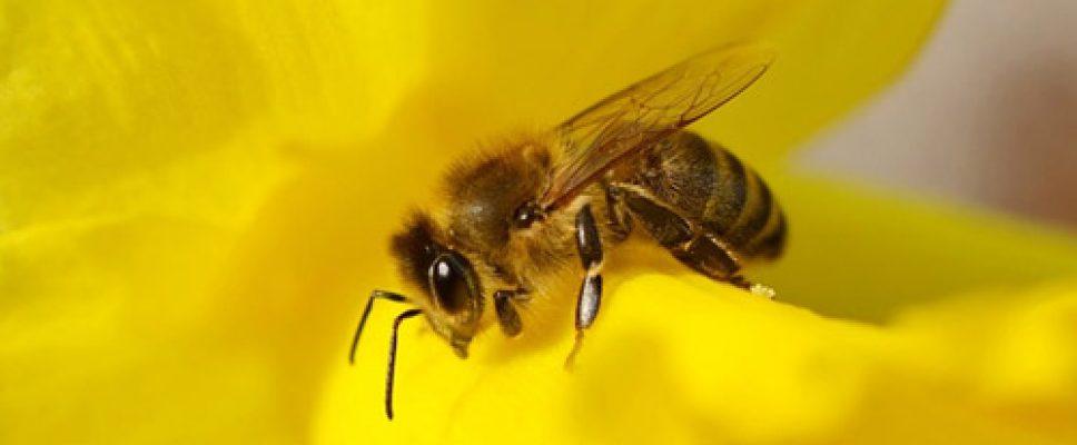 abeille-urci